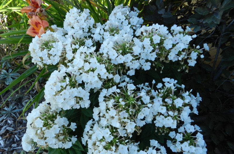 white phlox - tall garden phlox David