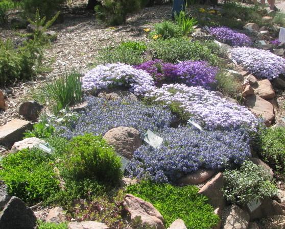 alpine perennials
