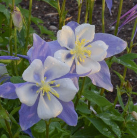 columbine - blue bird