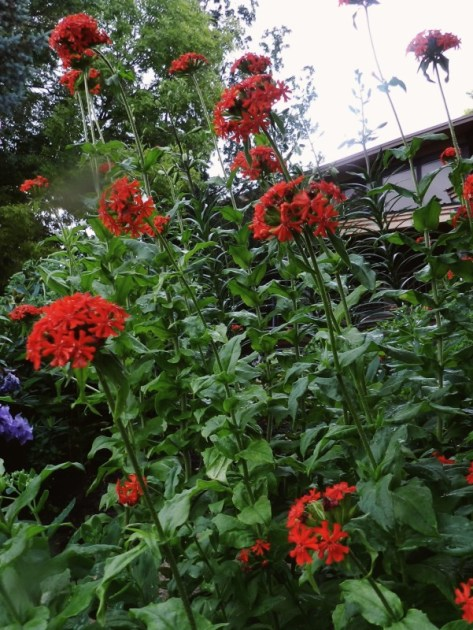 Maltese Cross Powerful Perennials