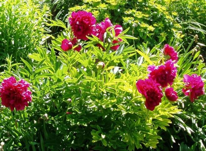 Rubra Plena Peony bush