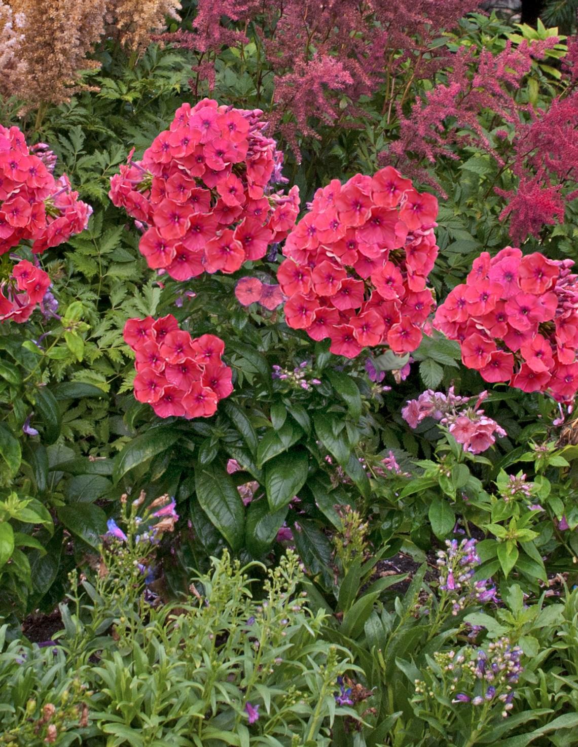 Tall Garden Phlox Fragrant Breathtaking Sturdy Powerful