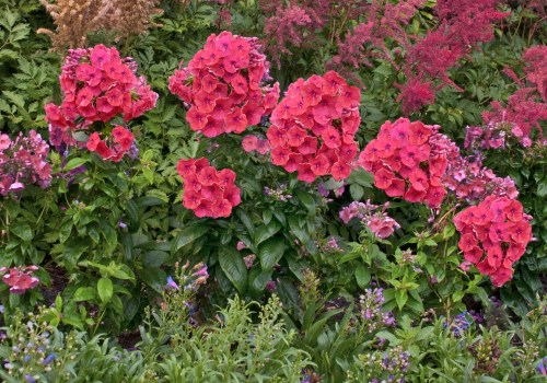 tall garden phlox flame trade coral