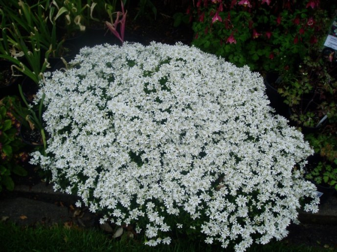 candytuft Iberis mound