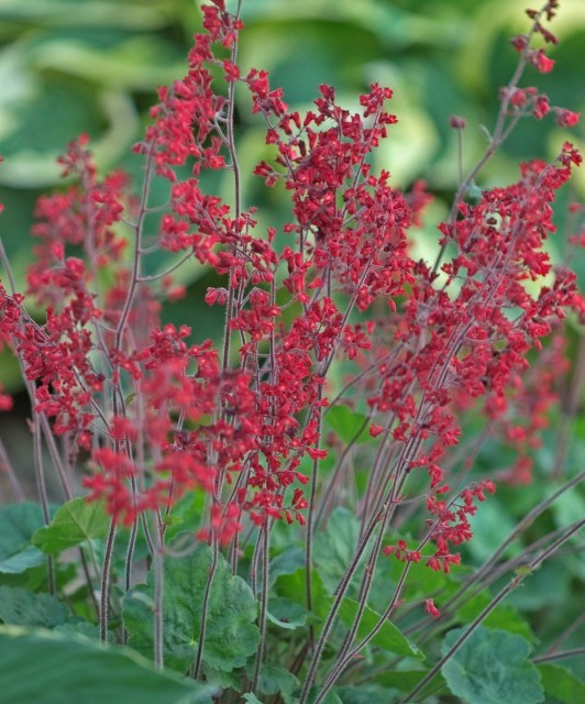 red coral bells perennial