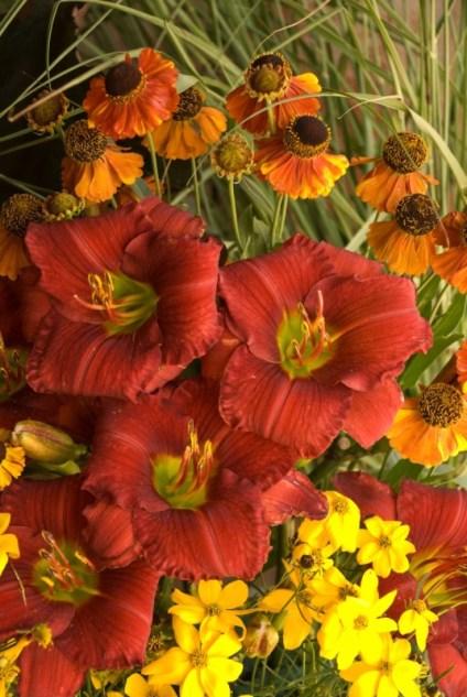 Scarlet daylily