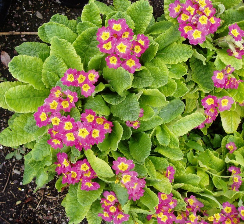 Primrose Primula Is It A Perennial Or An Annual Powerful