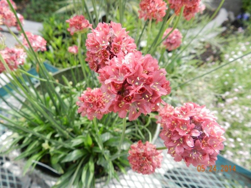 pink thrift or armeria