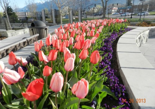 commercial mass planting of tulips