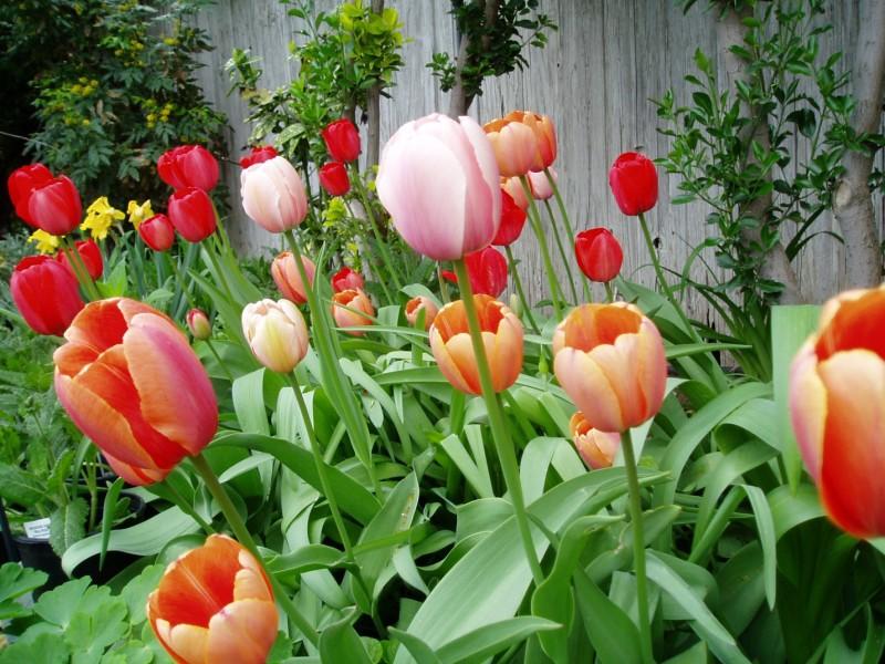 backyard tulip spring garden