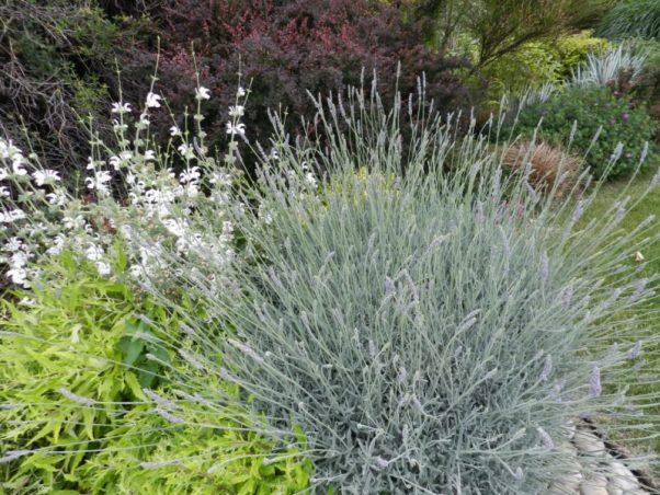 Blue Festicua evergreen perennial grass