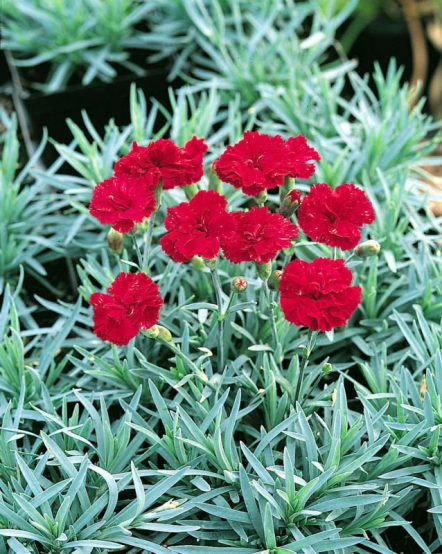 cold hardy Dianthus, 'Frosty Fire'