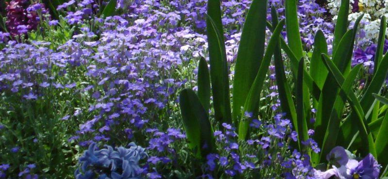 aubrieta, rock cress and spring bulbs