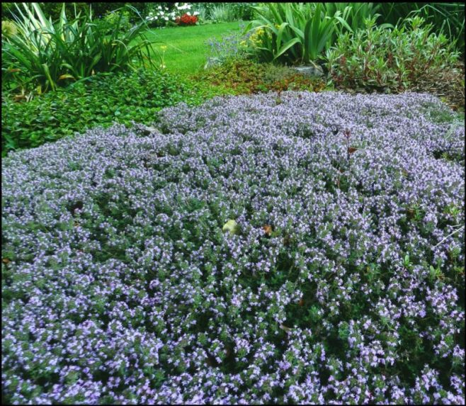 Thyme, Cold-hardy Perennial