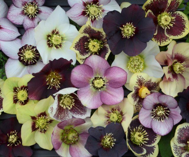 helleborus blossoms