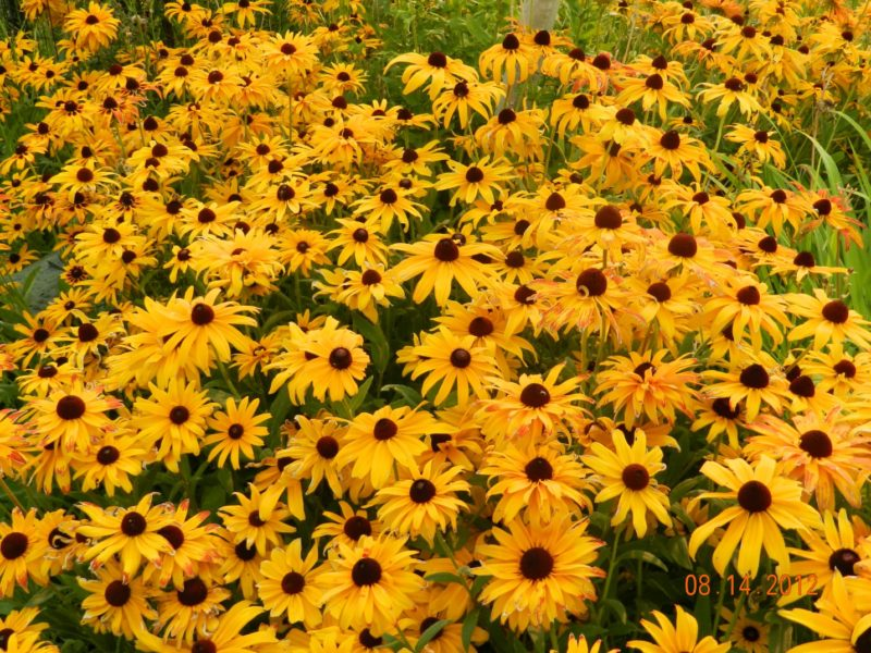Black eyed susans rudbeckia powerful perennials rudbeckia black eyed susans mightylinksfo