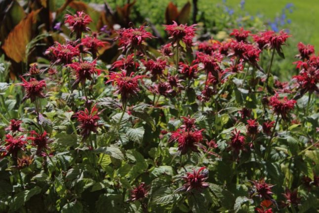 monarda - native perennial