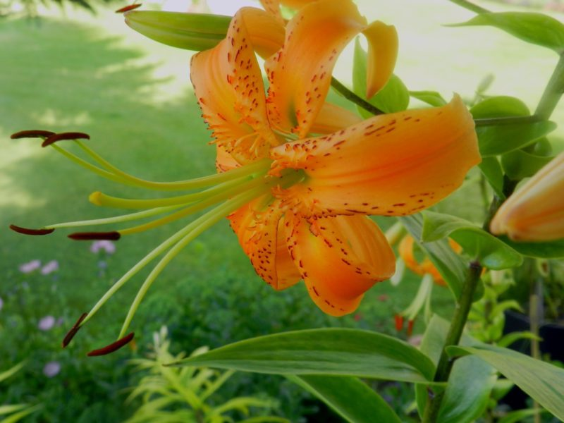 Henrii-Lily-Henrii-lillium