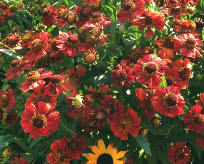 Helenium Helen's Flower