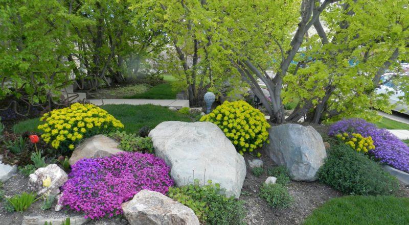 aubrieta rock cress garden