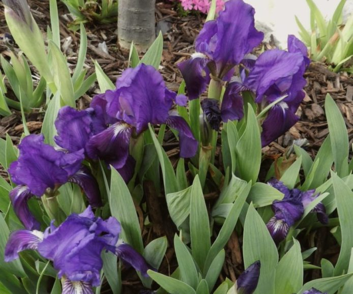 dwarf-crested-iris