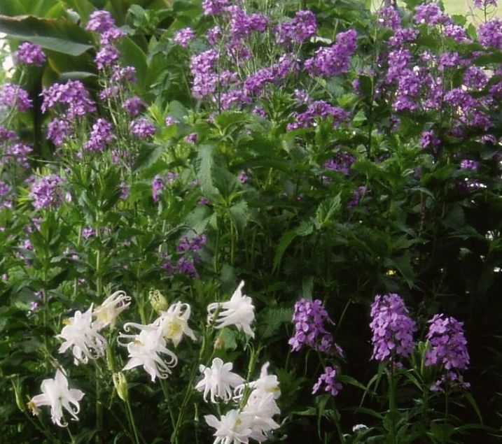 Hesperis or Sweet Rocket