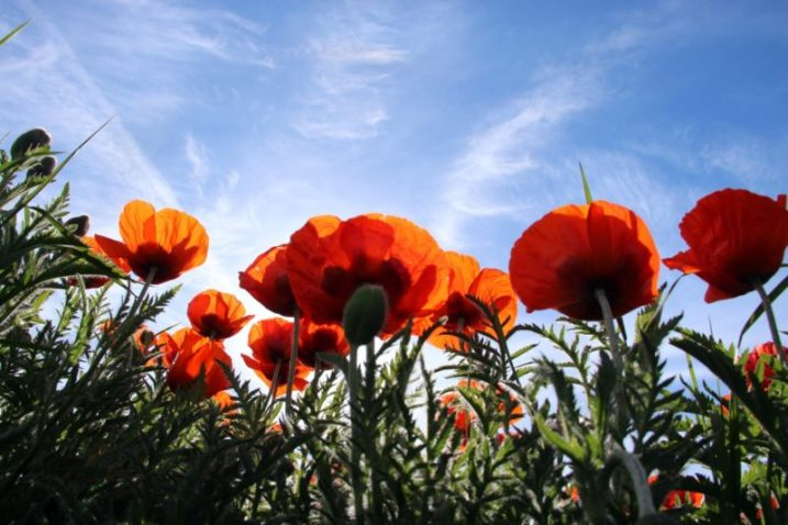 papaver - poppies
