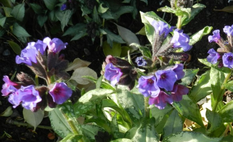 pulmonaria or lungwort