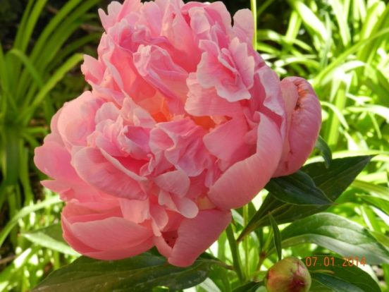 long lived peony perennial