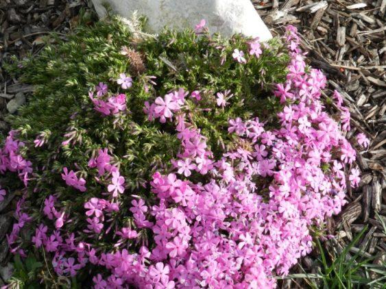 creeping phlox - rock garden