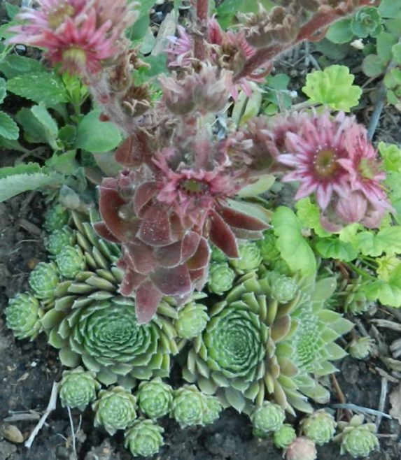 alpine perennials hens and chicks