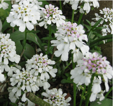 iberis - candytuft