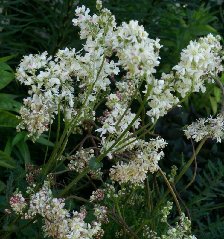 filipendula meadowsweet