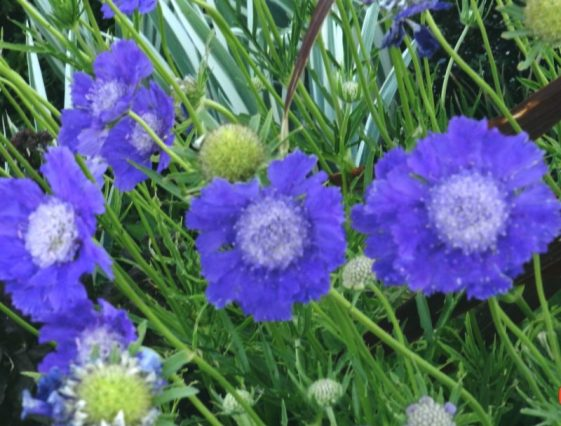 Scabosia or Pincushion long-blooming perennial