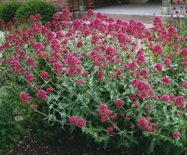 Centranthus or Red Valerian