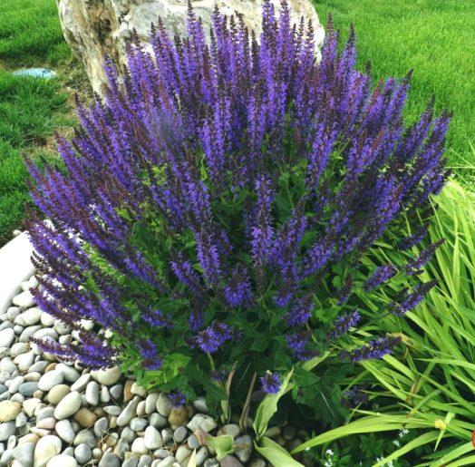Salvia or Sage - long-blooming perennials