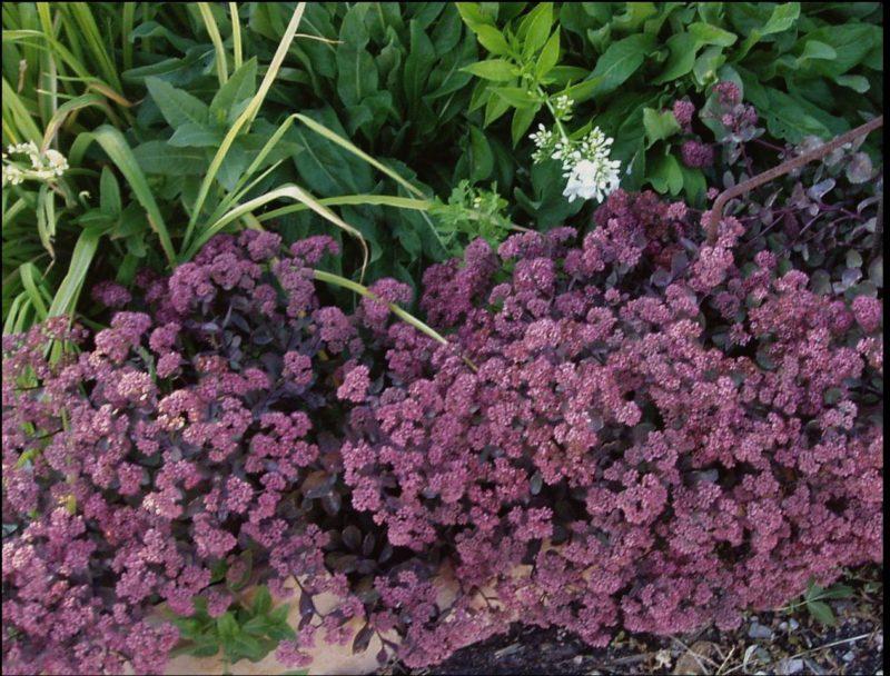 Short Sedum Perennial Ground Cover Powerful Perennials