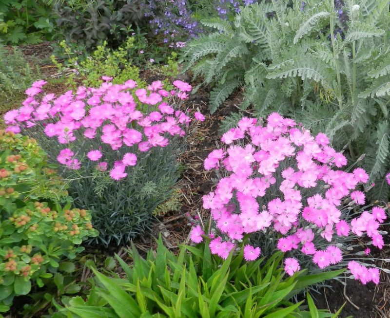 Dianthus A Flawless Perennial For Every Garden Powerful Perennials