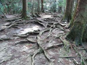 鞍馬寺木の根道
