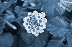 Cyanotype Photography [pt.23] (1)