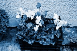 Cyanotype Photography [pt.23] (2)