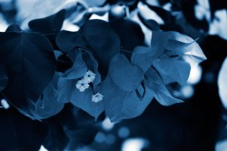 Cyanotype Photography [pt.26] (2)