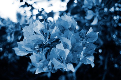 Cyanotype Photography [pt.26] (3)