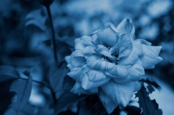 Cyanotype Photography [pt.26] (5)