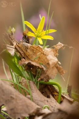 Гусиный лук жёлтый, Gagea lutea