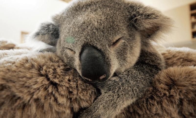Детеныш коалы спас жизнь маме своей поддержкой.