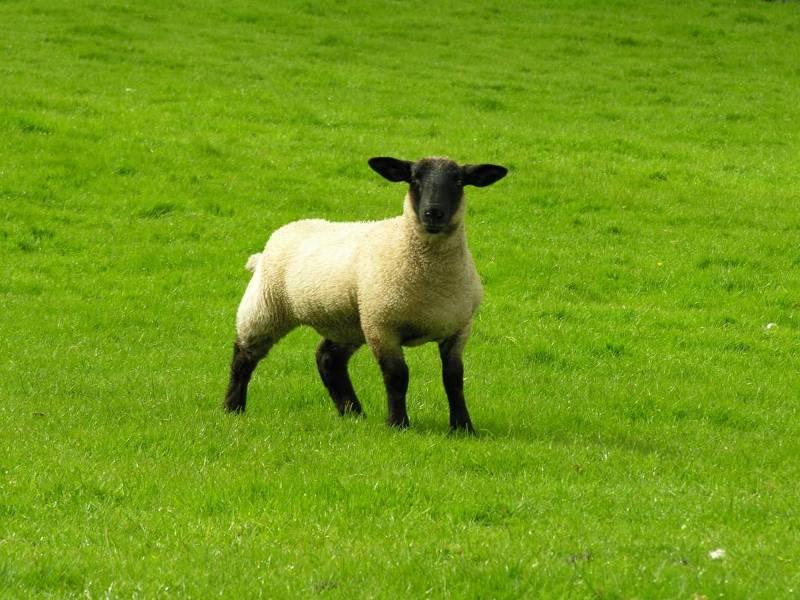 Овца - неофициальный символ Шотландии.