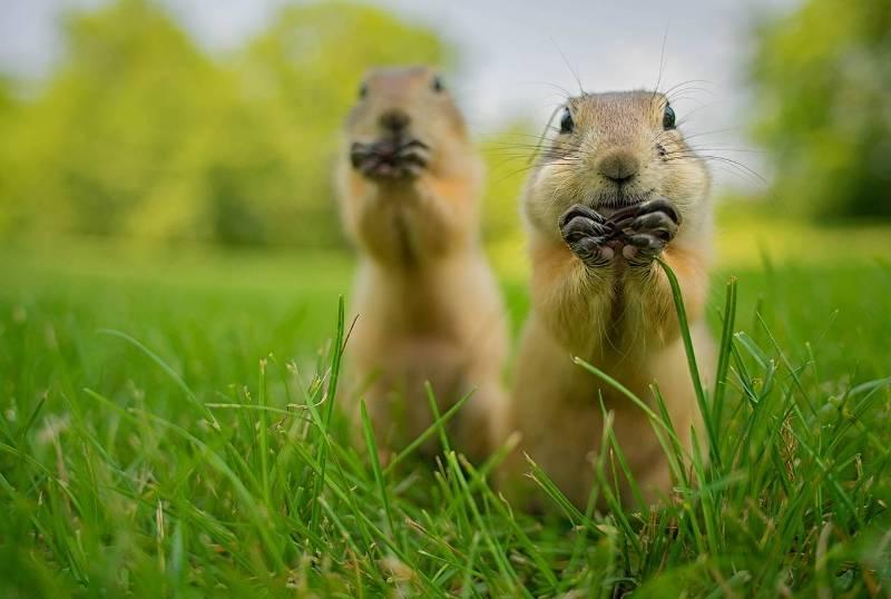Бурундуки хотят захватить мир. (Фото Aaron Karnovski Comedy Wildlife Photography Awards).