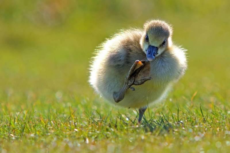 Широко шагаем. (Фото Eric Gessmann Comedy Wildlife Photography Awards)