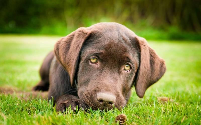 Лабрадор нежность собака фото